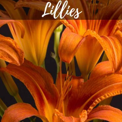 Lily Stems